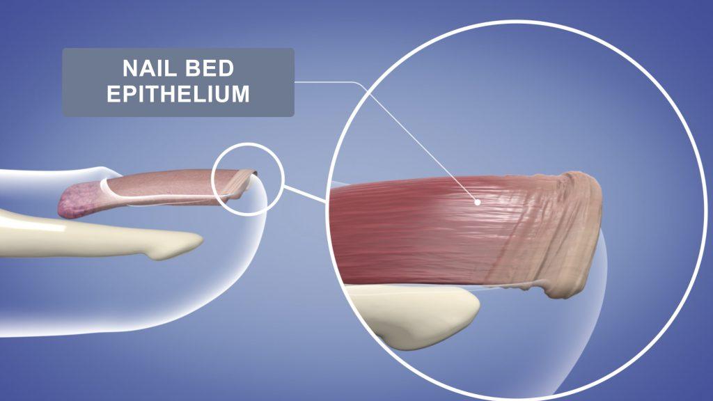 Nail Bed Epithelium